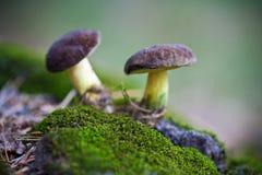 2 гриба в мхе Стоковая Фотография