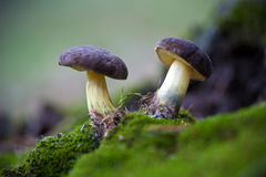 2 гриба в мхе Стоковые Фото
