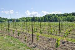 2 детеныша виноградника лоз виноградины Стоковое Изображение RF