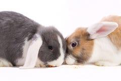 2 детеныша мини-lop еда кроликов Стоковое Фото