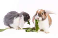 2 детеныша мини-lop кролики Стоковые Изображения RF
