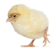 2 дня цыпленока старого Стоковое Фото