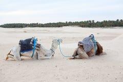 2 дромадера верблюдов отдыхая на песке Стоковая Фотография