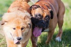 2 друз собаки Стоковые Фотографии RF