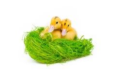 2 желтых маленьких утки Стоковое фото RF