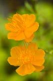 2 желтых цветка Стоковое Изображение RF