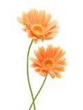 2 желтых цветка Gerber Стоковое Изображение RF
