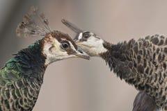 2 женских павлина Стоковые Фото