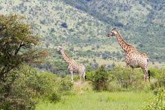 2 жирафа в кусте терния Стоковое Изображение