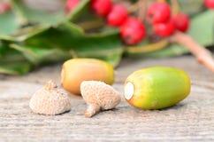 2 жолудя между листьями Стоковое Изображение RF