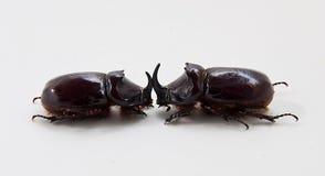 2 жука rhinoceros Стоковые Фото