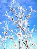 2 замороженной ягоды Стоковая Фотография