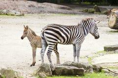 2 зебры в зверинце Стоковые Фото