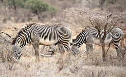 2 зебры в одичалом Стоковая Фотография