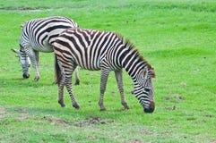 2 зебры на зеленом поле Стоковая Фотография