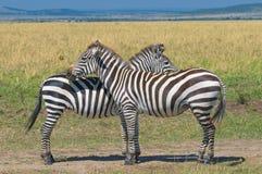 2 зебры, masai mara, Кения Стоковая Фотография