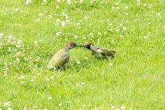 2 зеленый woodpecker - Picus Vinidis Стоковое Изображение