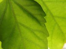 2 зеленых листь Стоковые Изображения RF