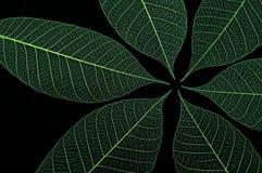 2 зеленых листь Стоковые Изображения