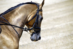 2 золотистая лошадь turkmenistan Стоковая Фотография