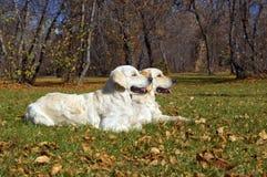 2 золотистых Retrievers Стоковая Фотография