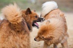 2 играя собаки Elo Стоковая Фотография