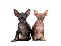 2 изолированного щенят чихуахуа Стоковая Фотография RF