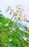 2 картошки bush цветя Стоковое Изображение RF