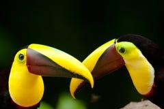 2 каштан Mandibled Toucans Стоковые Фотографии RF