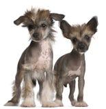 2 китайских crested щенят месяцев собаки старых Стоковое фото RF