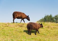 2 коричневых овцы с толщиным и теплым пальто Стоковое Изображение
