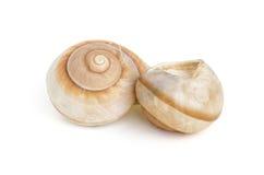 2 коричневых раковины улитки моря Стоковое Фото