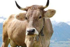 2 коричневых скотины швейцарской Стоковое Изображение RF