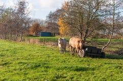 2 коровы в осени Стоковое Фото