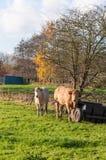 2 коровы в осени Стоковое фото RF