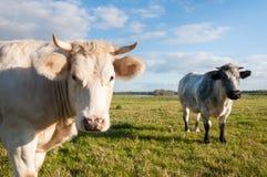 2 коровы стоя на злаковике Стоковая Фотография RF