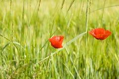 2 красных мака Стоковая Фотография