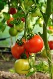 2 красных томата Стоковые Изображения