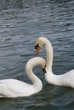 2 лебедя в влюбленности Стоковые Фотографии RF