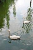 2 лебедя Стоковое Изображение