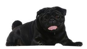 2 лежа старых лет pug Стоковая Фотография