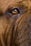 2 лет Бордо de dogue Стоковое Изображение RF