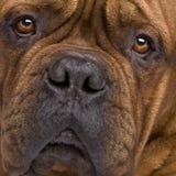 2 лет Бордо de dogue Стоковое Фото