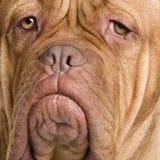2 лет Бордо de dogue Стоковая Фотография