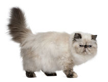 2 лет кота старых перских стоящих стоковые изображения