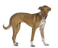 2 лет старых podenco собаки andalou стоящих Стоковое Изображение