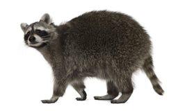 2 лет старых raccoon гуляя Стоковая Фотография