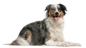 2 лет чабана австралийских собаки лежа старых Стоковые Фотографии RF