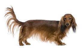 2 лет dachshund старых Стоковые Изображения