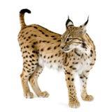 2 лет lynx Стоковые Изображения